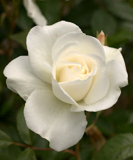 A white tea style rose with a hint of peach at its centre, against a background of dark green rose leaves
