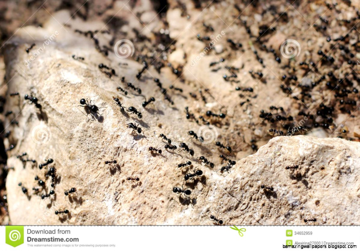 Invasion Of Black Ants Royalty Free Stock Images   Image 34652959