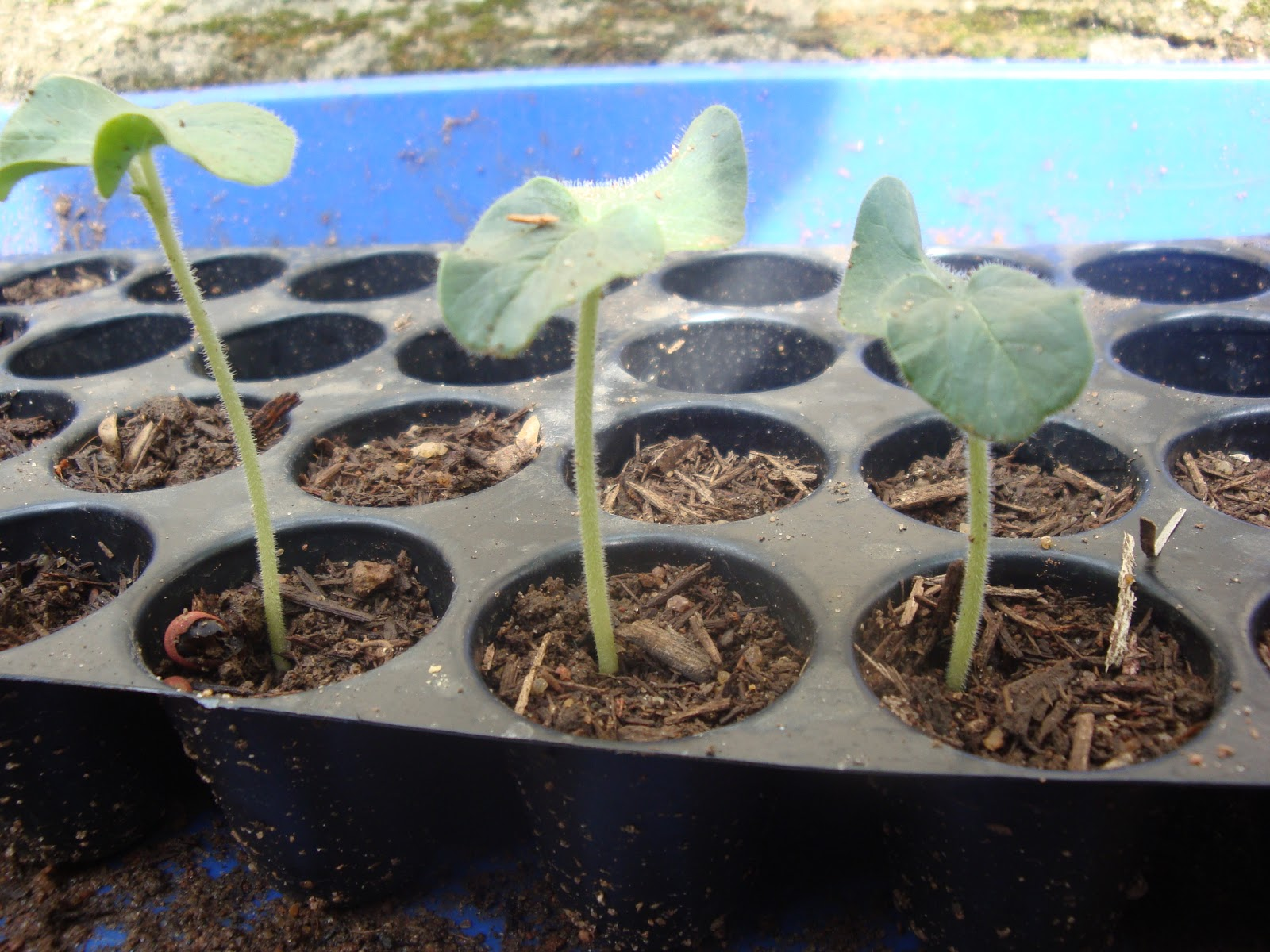 Okra Life Cycle http://sevenandhalfsaturn.blogspot.com/2011/08/ladys-fingerokra-seed-germination.html