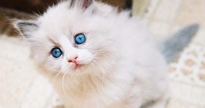 Jenis Jenis Makanan Kucing Angora Kesayangan