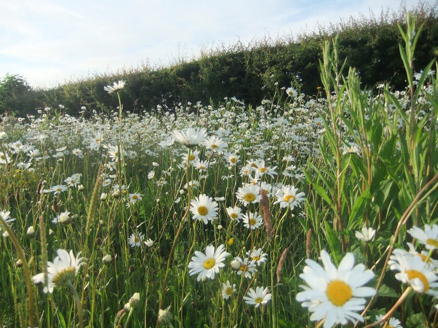 Anglesey Wild Flower Meadow