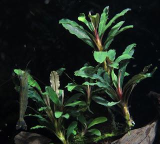 Картинки по запросу Bucephalandra sp. Sexy Pink, Daerah Sanggau