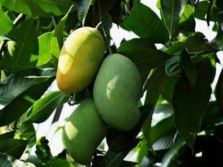 Conoth buah mangga manis dan asam