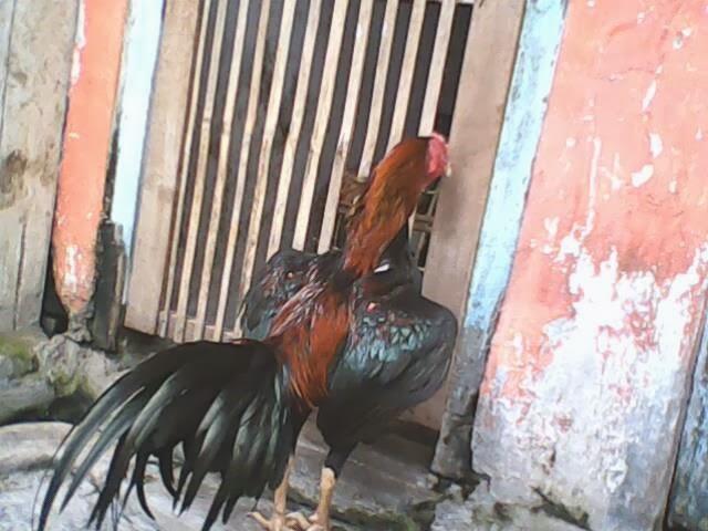 Ciri-Ciri Ayam Bangkok Yang Bagus, Kuat, Berkualitas serta Berdaya