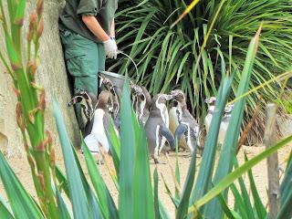 Dublin Zoo Penguins Feeding