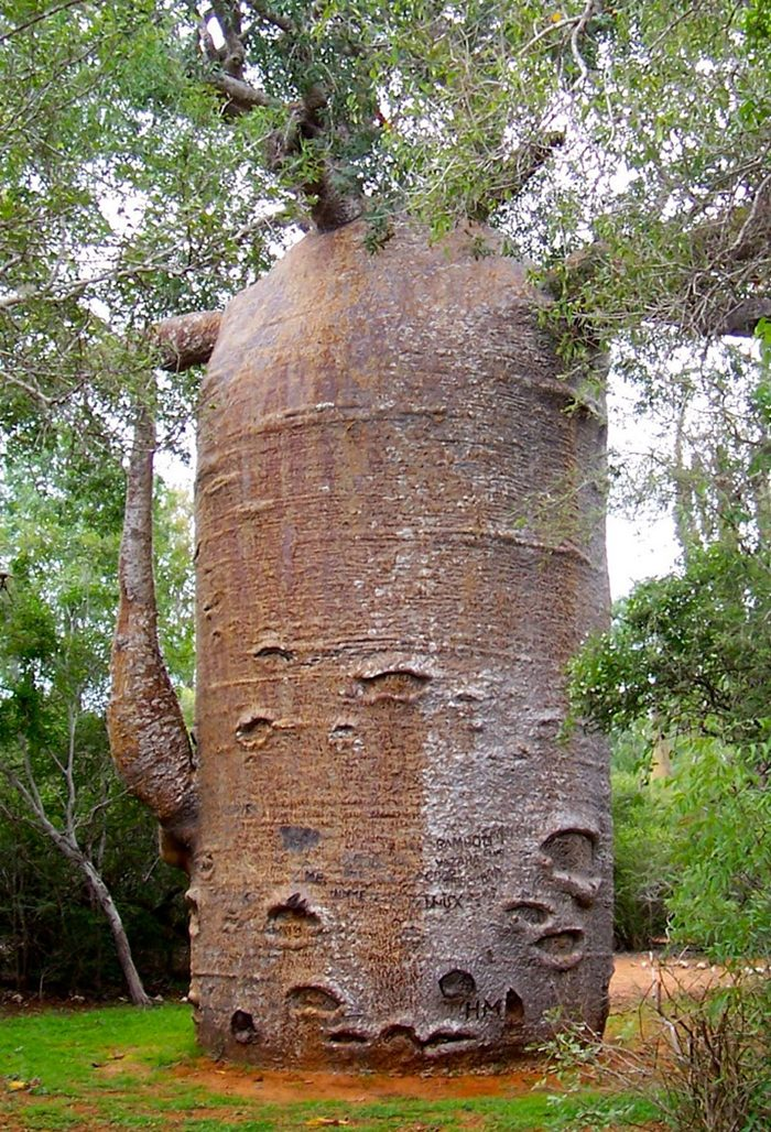 Thousand year Old Baobab Tree