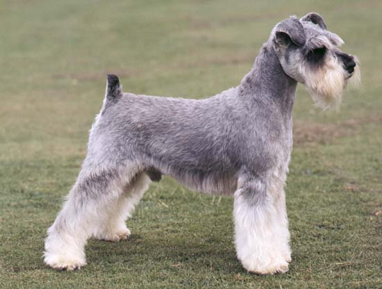 Miniature Schnauzer Dogs Pictures And White Puppies Images