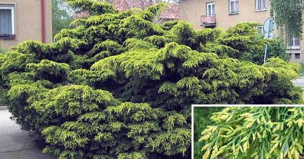 Arte y jardiner a dise o de jardines juniperus x media for Diseno de jardines 3d 7 0 keygen