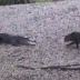 WATCH: A fearless cat scared the shit out of crocodile