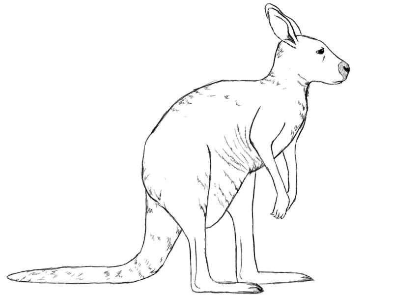 Line Drawing Kangaroo : Image gallery kangaroo drawing