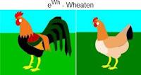 eWh-wheaten.jpg