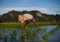 Rice, a staple for billions of people, could soon be more nutritious – and less polluting. (Image Credit: Tri Saputro/CIFOR via Flickr) Click to Enlarge.