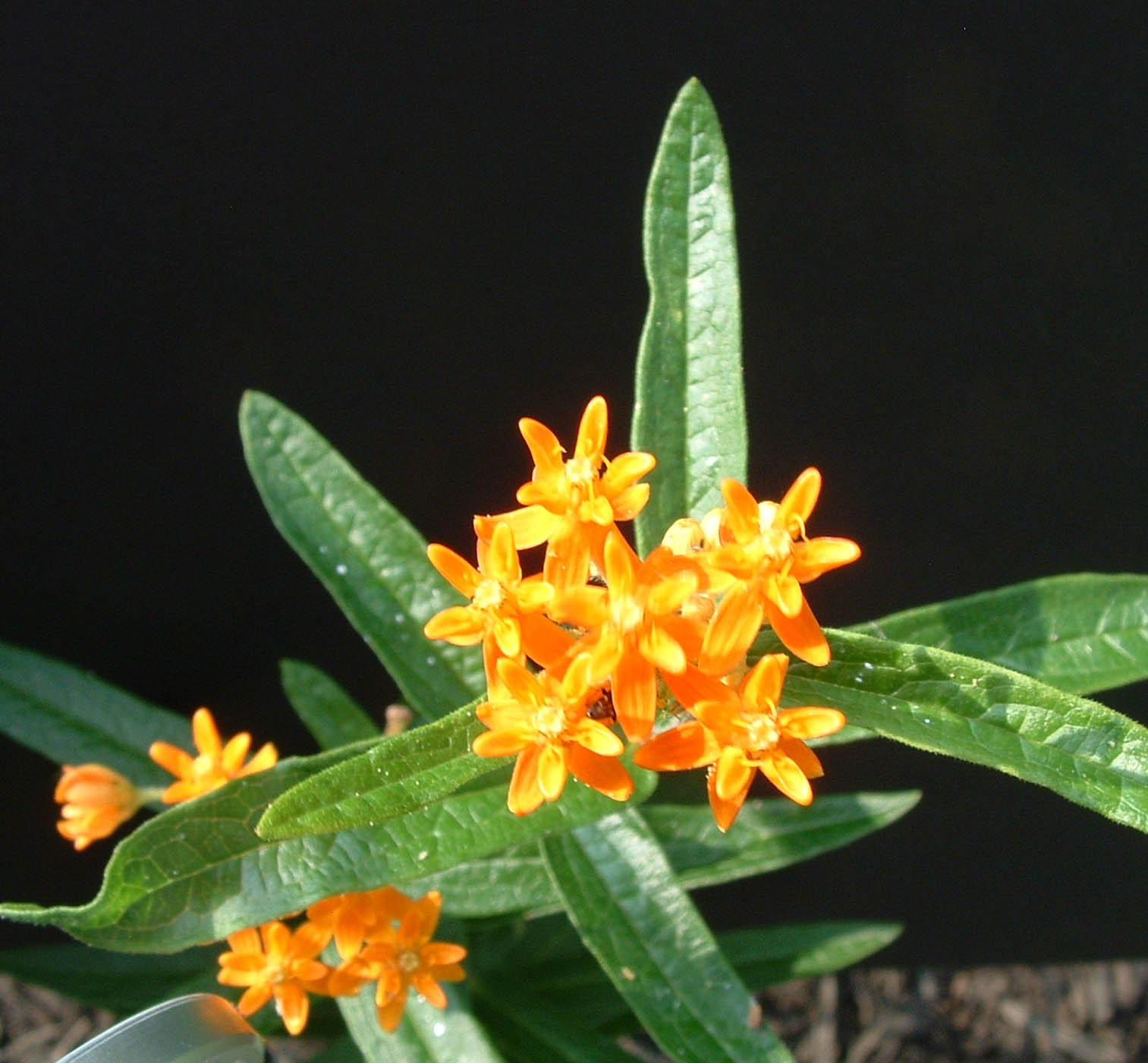 Butterfly Weed Attracting Hummingbirds
