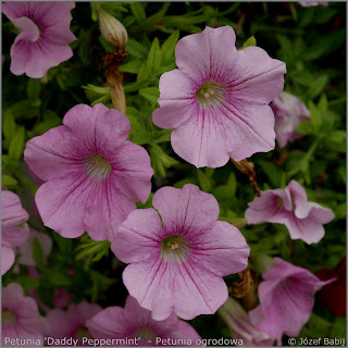 Petunia 'Daddy Peppermint'  - Petunia ogrodowa 'Daddy Peppermint'