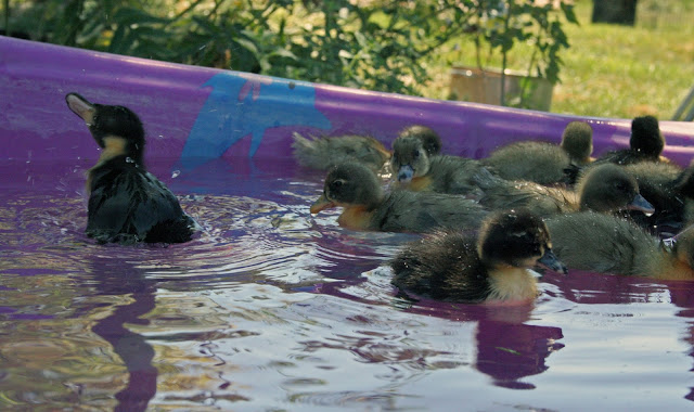 duckies in the pool
