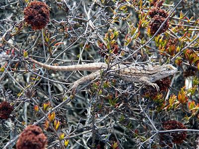 Western fence lizard - La Jolla, California