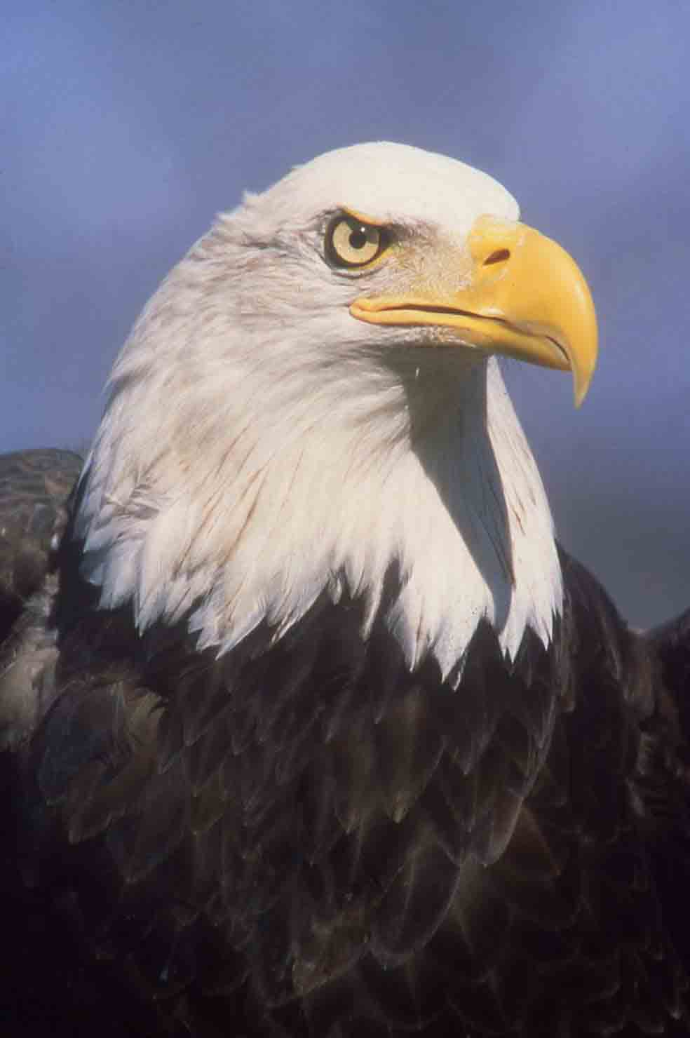american bald eagle essay History of the american flag essay for second dissertation american bald eagle: find this pin and more on patriotic eagles by mspinks44 bald eagle.