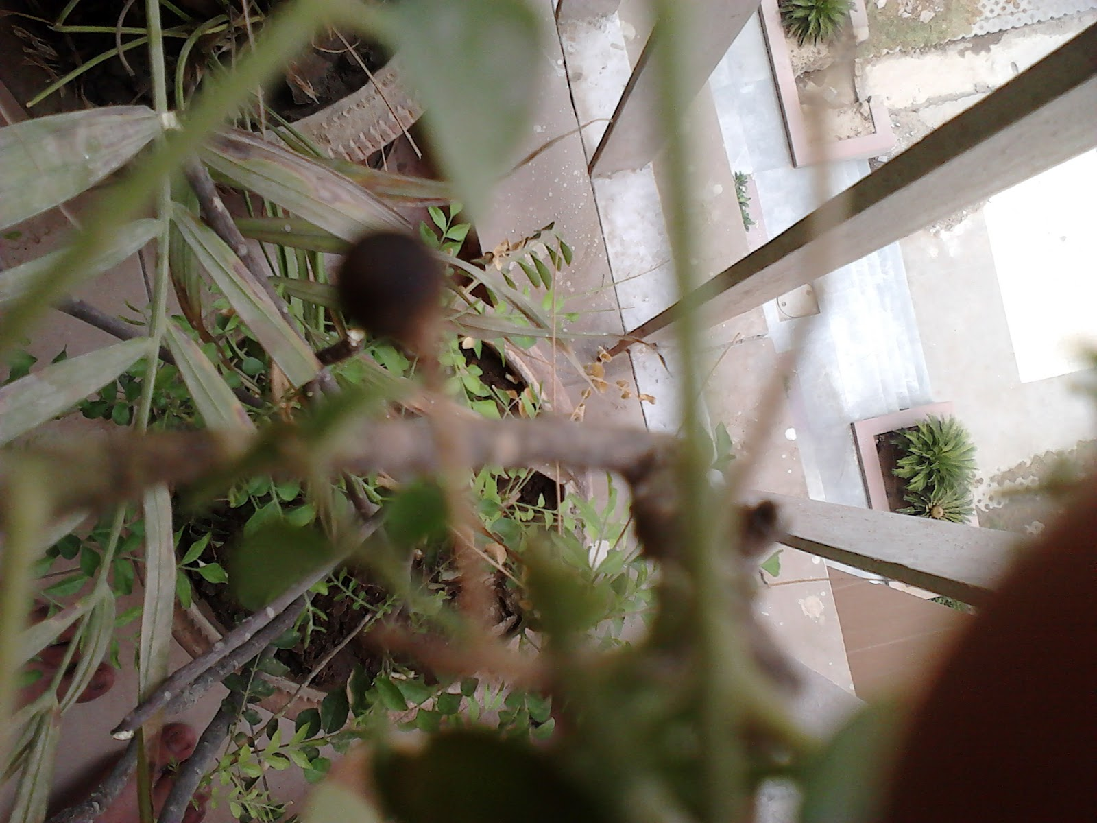 Garden Care Simplified: Neem Plant Growing in Container1600 x 1200 jpeg 264kB