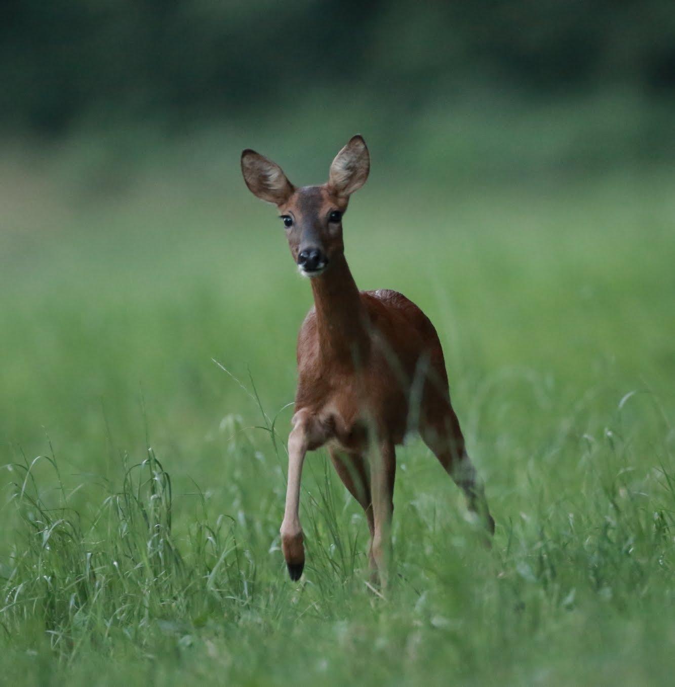 animal forêt Mervent