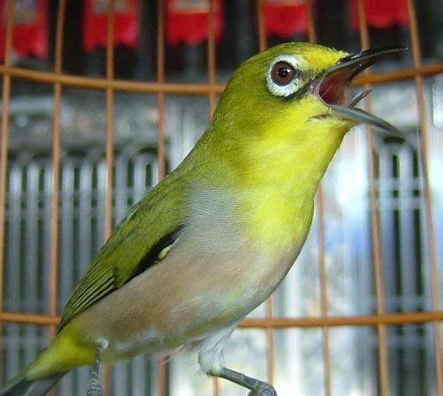 mr.yoyong  Memilih Burung Pleci Yang Bagus Untuk Lomba deddd54217
