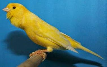 Foto Burung Kenari Taiwan Terbaik