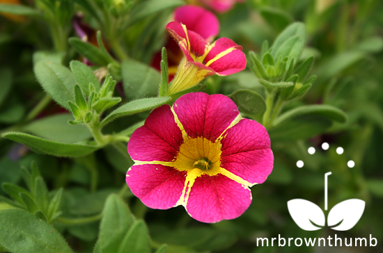 Calibrachoa Cherry Star Proven Winners