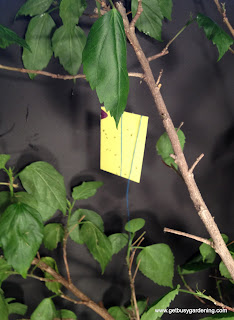 Yellow sticky trap to capture adult whiteflies