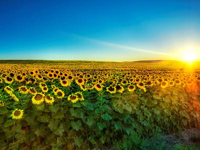 Wallpaper Bunga Matahari Tercantik