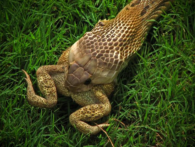 Snakes Snakes Eating
