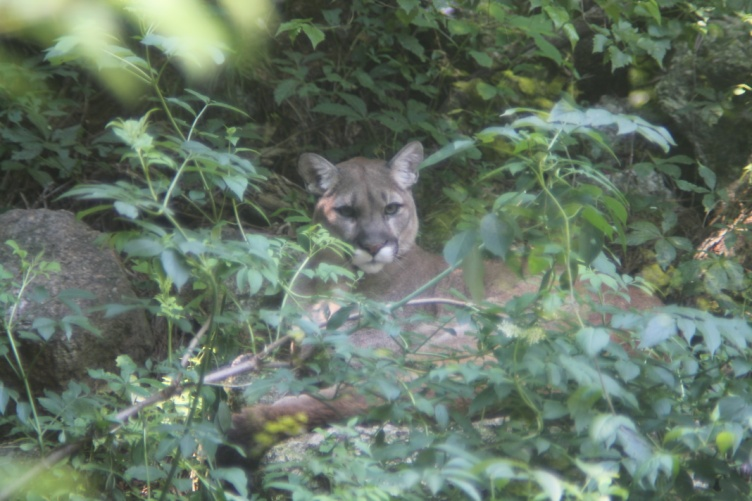 cougars in new hampshire