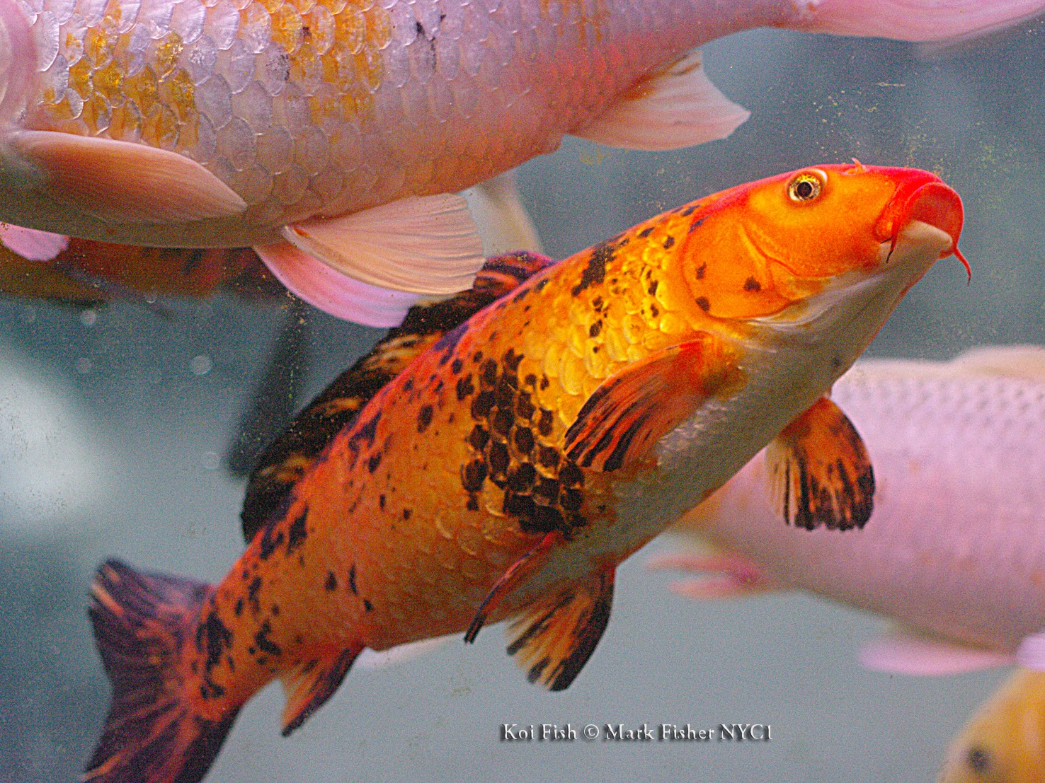 Mark fisher american photographer koi fish american for Japanese koi carp fish