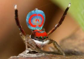 """""""عناكب الطاووس"""" أجمل عناكب العالم 6.jpg"""