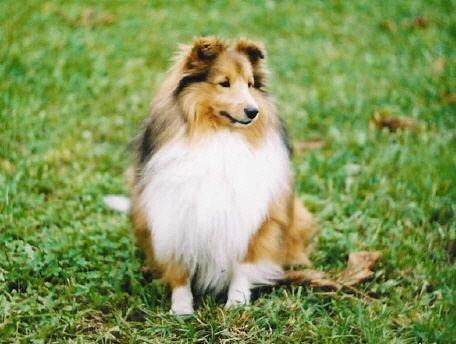Mini Lassie Dog For Sale