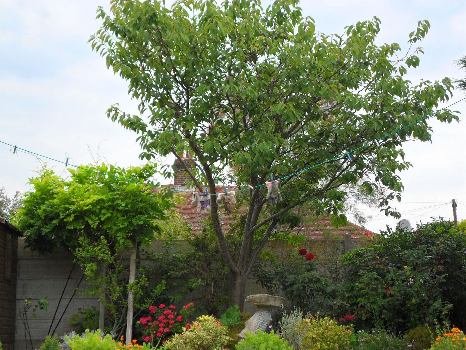 8 cherry trees lower stondon experiments with plants cherry blossom tree 08 jan 2012