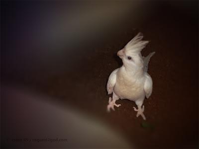 birds, white cockatiel parrot