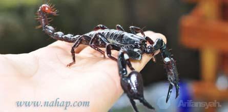 Cara memelihara kalajengking, AFS dan Emperor Scorpion