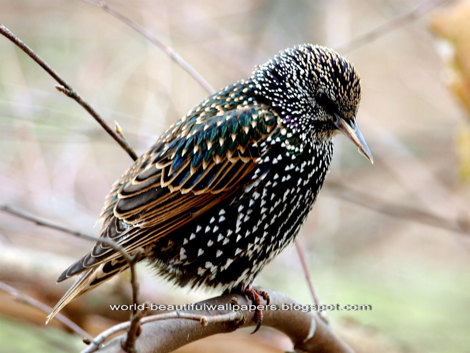 Beautiful Wallpapers: starling bird wallpaper