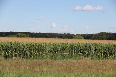 Minnesota corn field, late Summer