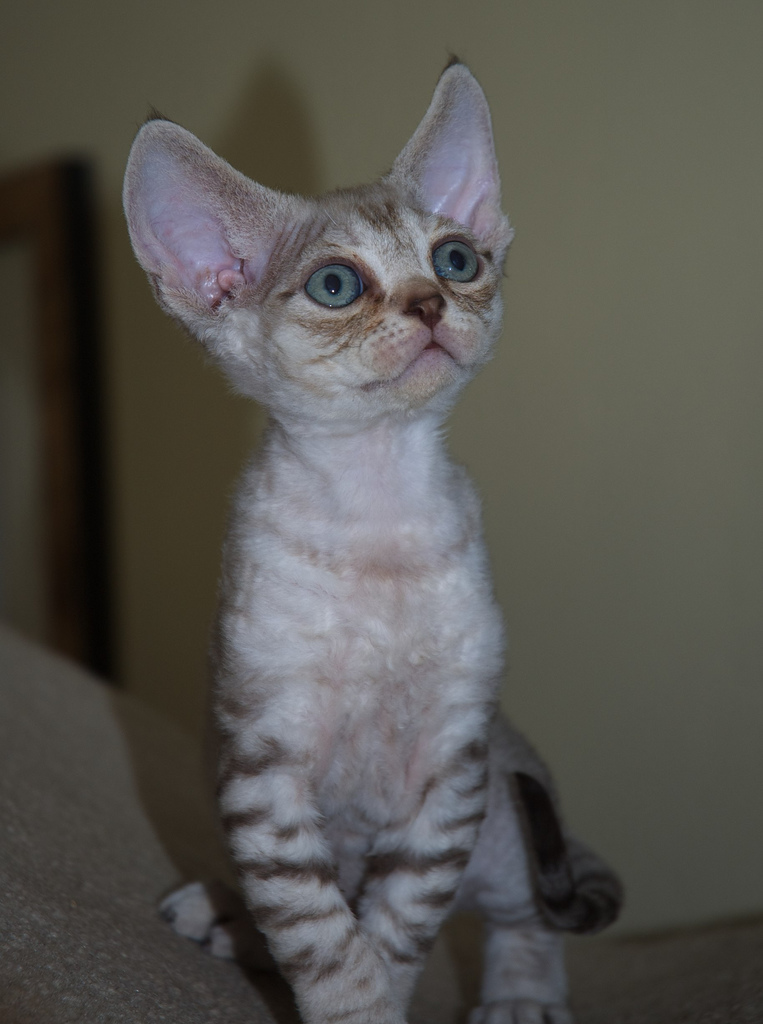 Life Expectancy in Devon Rex Cats