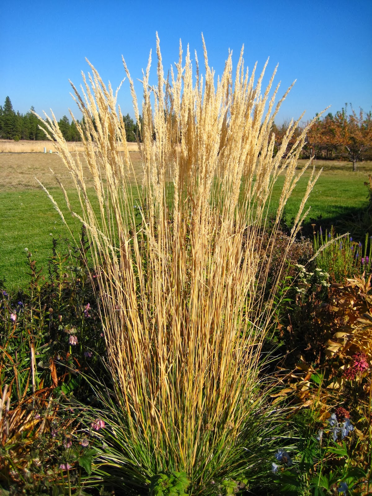 Ornamental grasses 39 karl foerster 39 feather reed grass for Common ornamental grasses