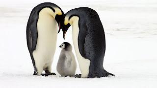 casal de pinguins e pinguinzinho