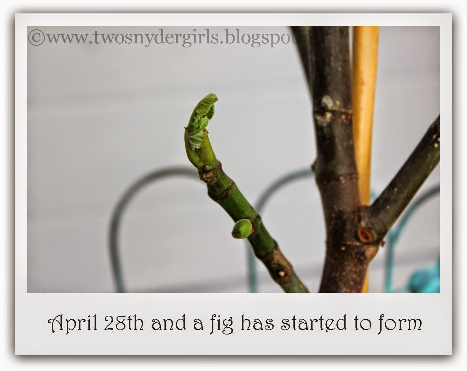A new fig starting to grow