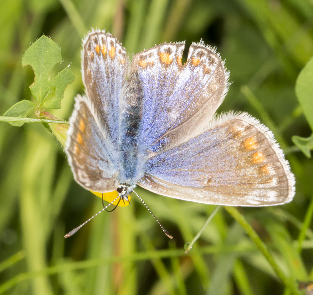 Female Common Blue, Polyommatus icarus.  Downe Bank, 12 June 2014.
