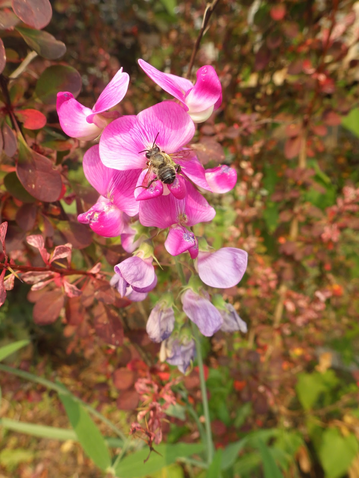 Victory Gardens For Bees Perennial Sweet Peas For Bees