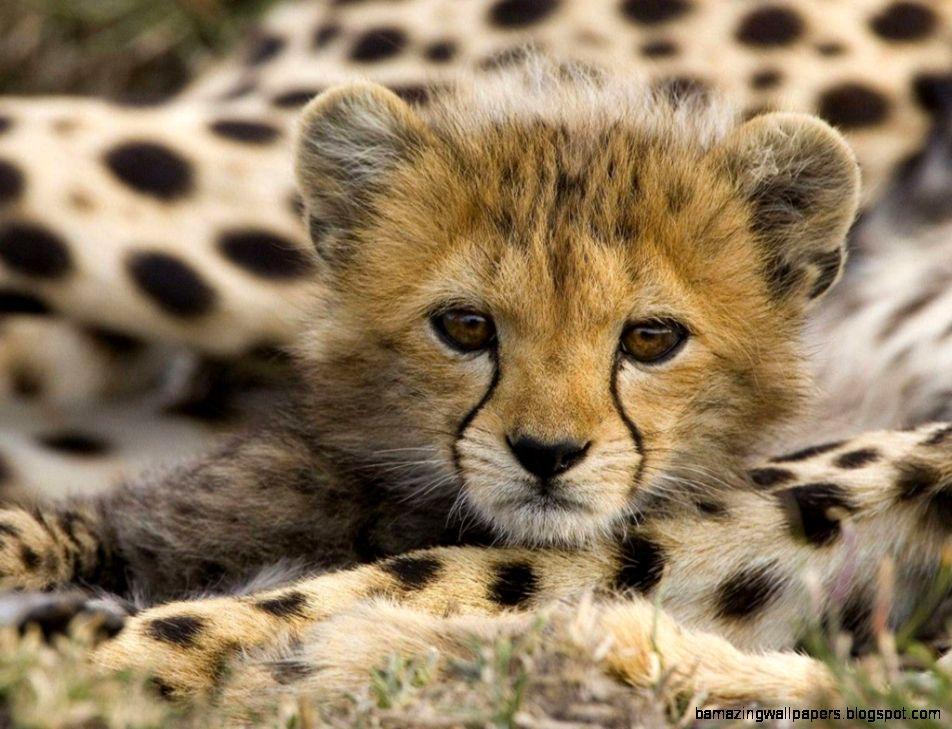 Baby Cheetah  mariavance4