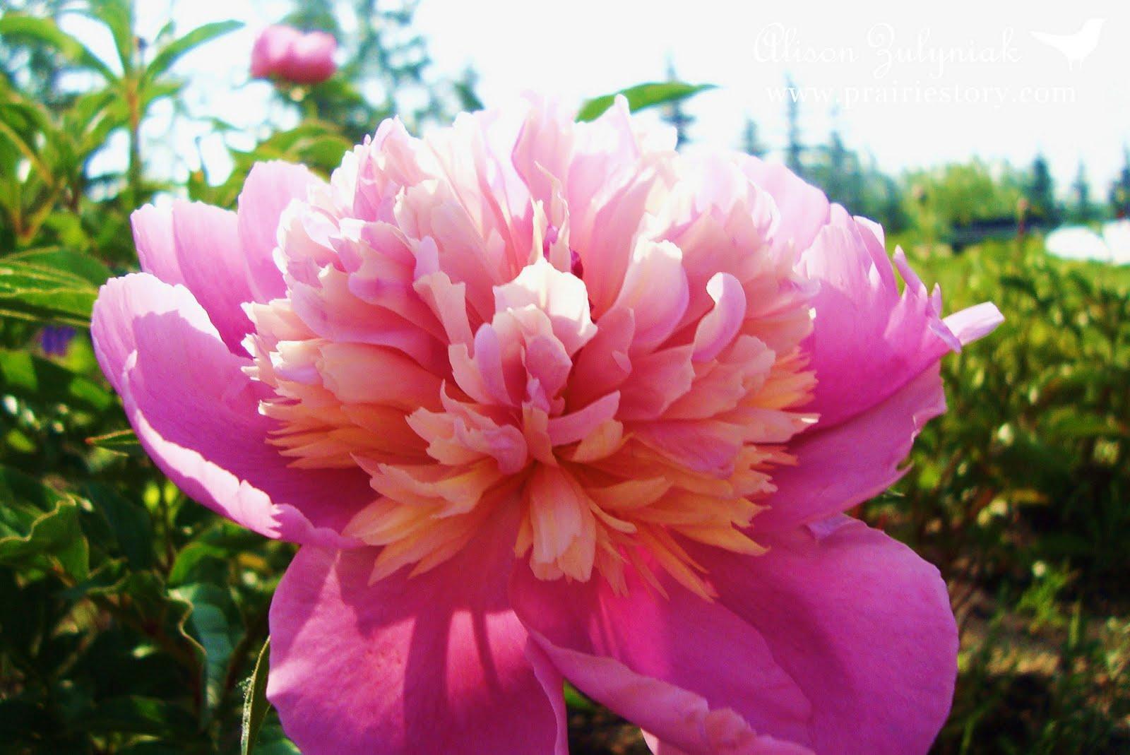 Prairie Story Peony Flowers