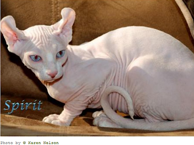 Informasi tentang Kucing Elf