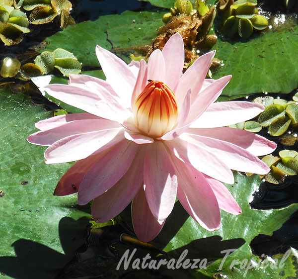 El famoso Nenúfar rosa, género Nymphaea