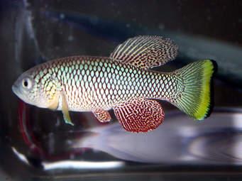 African turquoise killifish (6.5 cm long) :