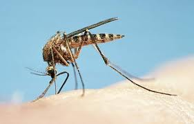 5 Mitos Tentang Nyamuk Yang Keliru